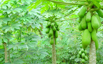 Papaya, Green Papaya, Raw Papaya, Katcha Papita, Hara Papita, Diabetes, Blood sugar, Insulin, Health news, Offbeat news